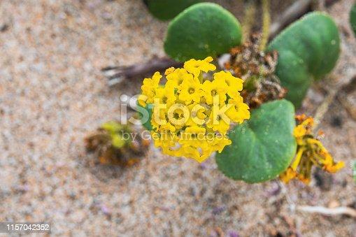 Yellow Sand Verbena (Abronia latifolia) blooming on a beach on the Pacific Ocean coastline, California