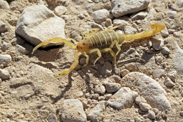 yellow scorpion in the desert, big bend national park, texas, usa - scorpion stock photos and pictures