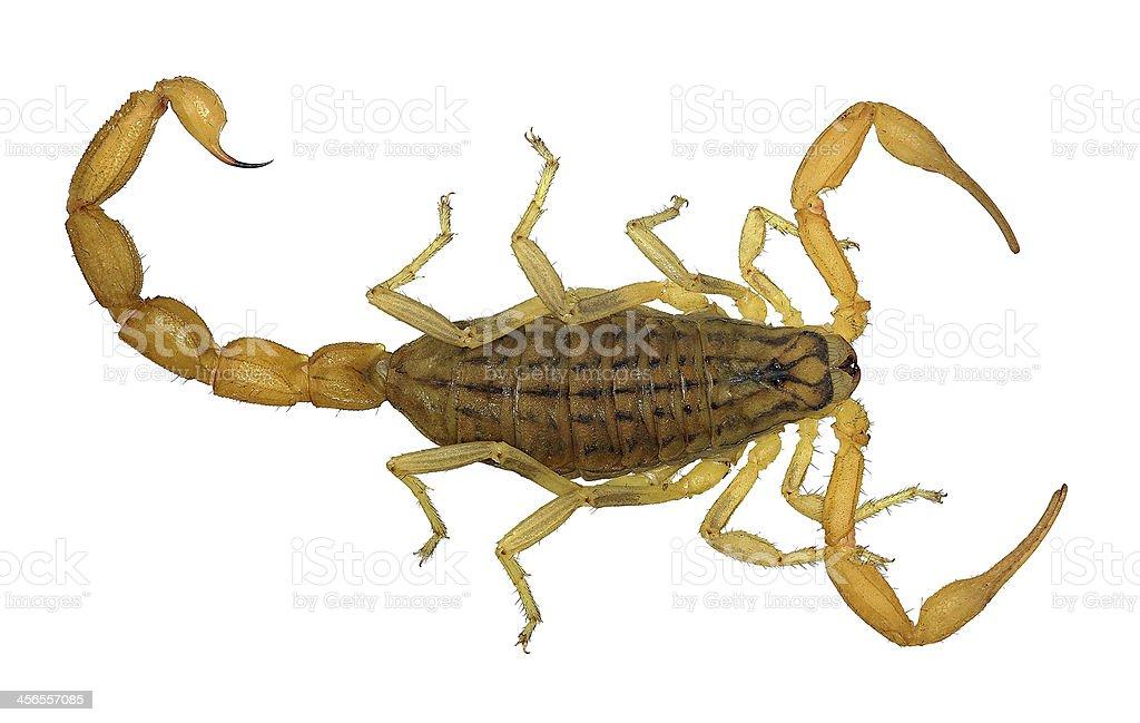 Yellow scorpion isolated on white background stock photo