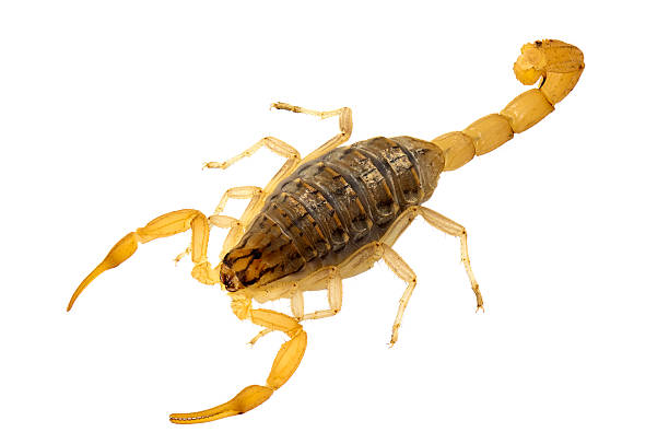 yellow scorpion - scorpion stock photos and pictures