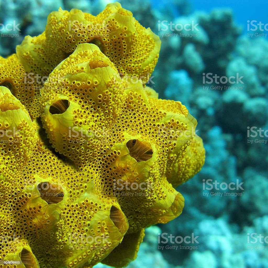 Mar amarillo esponja en la parte inferior del mar tropical, submarinas - foto de stock