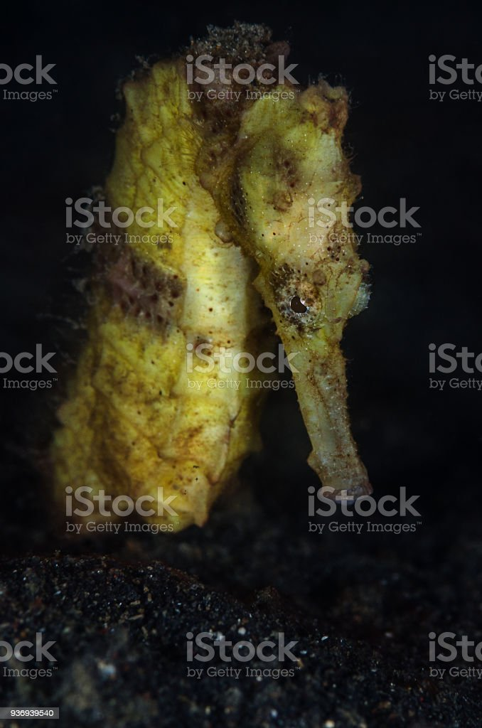 yellow seahorse (Hippocampus kuda) stock photo