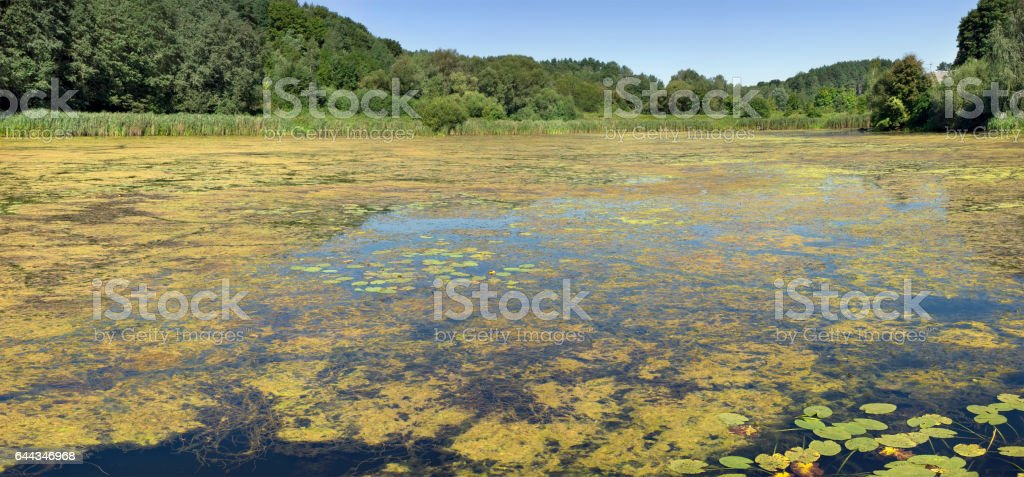 Yellow seaweed attack the forest lake - summer landscape. All water surface has grown with weed flora stock photo