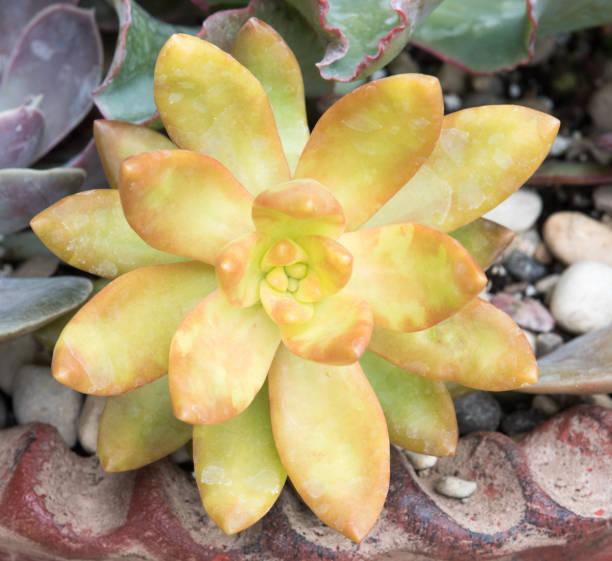 Yellow Sedum Nussbaumerianum Succulent stock photo