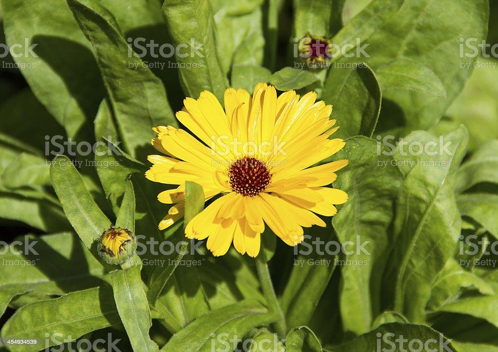 Yellow senecio cineraria stock photo