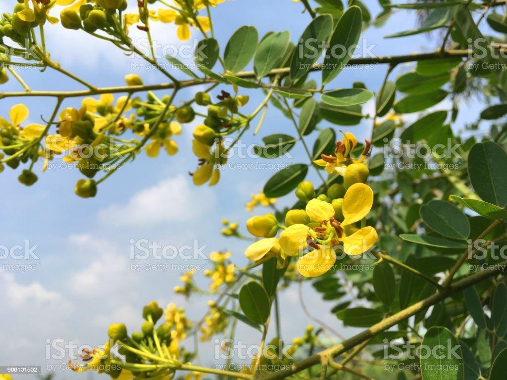 yellow Senna siamea flower in nature garden - Стоковые фото Ветвь - часть растения роялти-фри