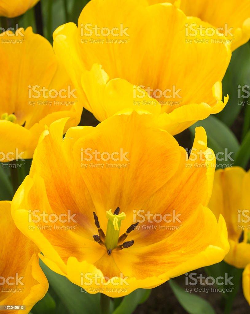 yellow show tulips stock photo