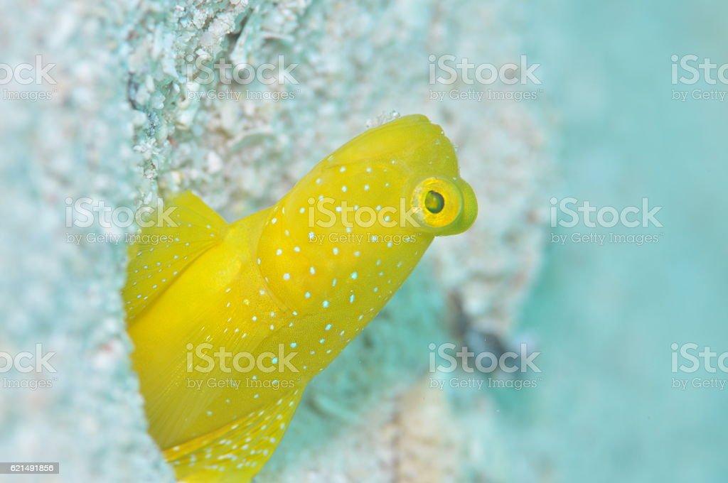 Yellow shrimpgoby photo libre de droits