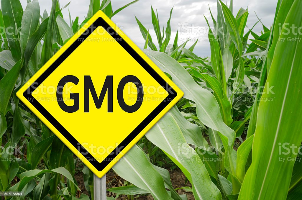 GMO yellow sign with the corn crop in the background Lizenzfreies stock-foto
