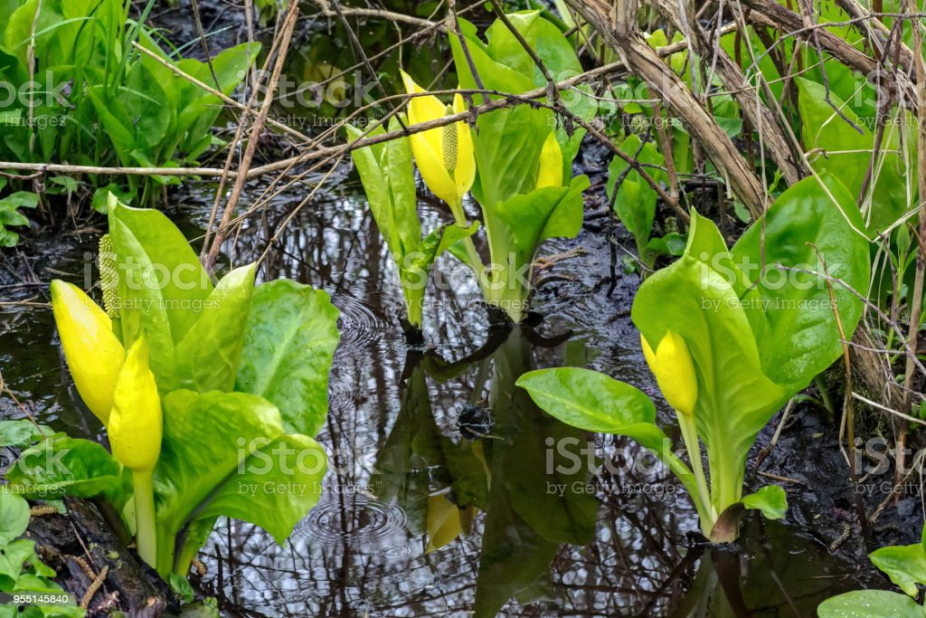 Yellow Skunk Cabbage in early spring stock photo