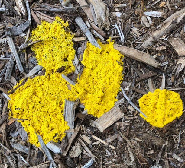 Yellow Slime Mold Growing on Mulch Yellow Slime Mold Growing on Mulch slime mold stock pictures, royalty-free photos & images