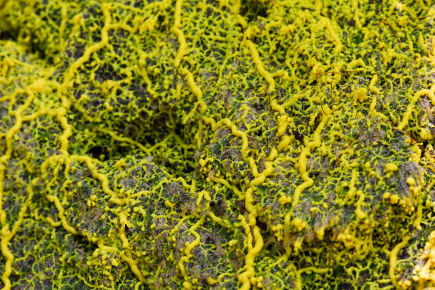 Yellow slime mold stock photo