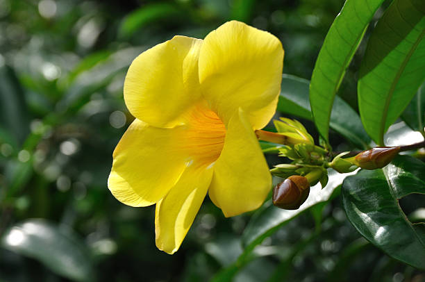 Yellow Small / Bush Allamanda /schottii stock photo