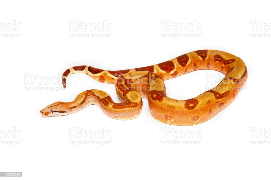 Yellow snake with brown spots on white background stock photo