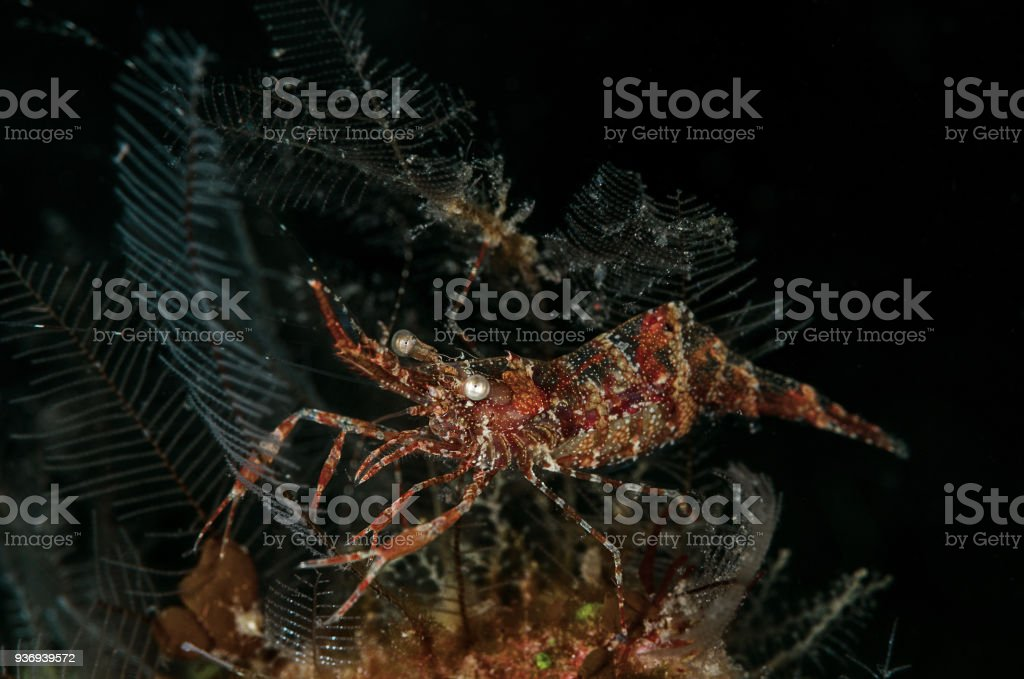 Yellow Speckled Rock Shrimp (Urocaridella urocaridella) stock photo