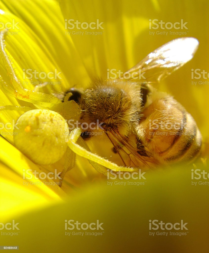 Yellow Spider Eating a Dead Bee royalty-free stock photo