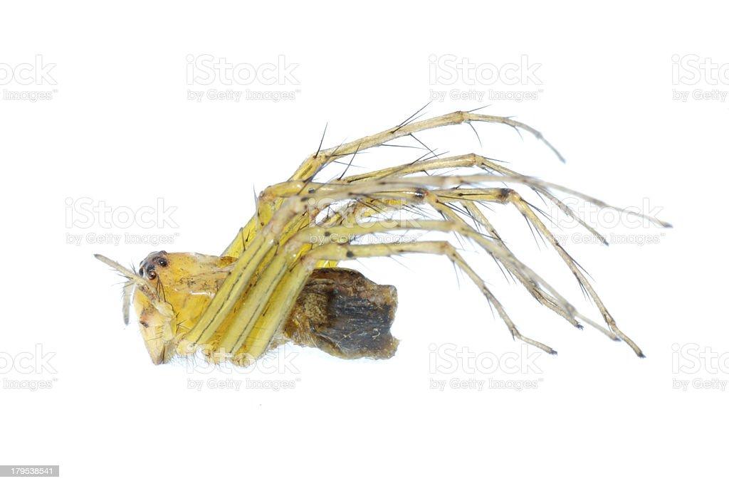 yellow spider macro isolated stock photo