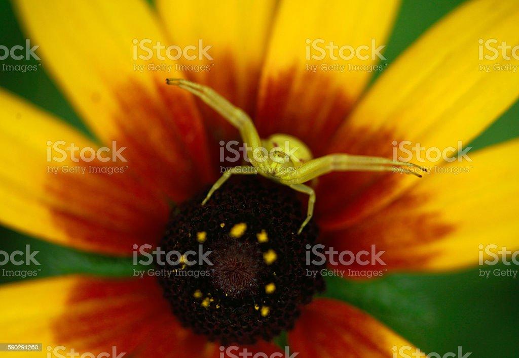 Желтый Паук на цветок Стоковые фото Стоковая фотография