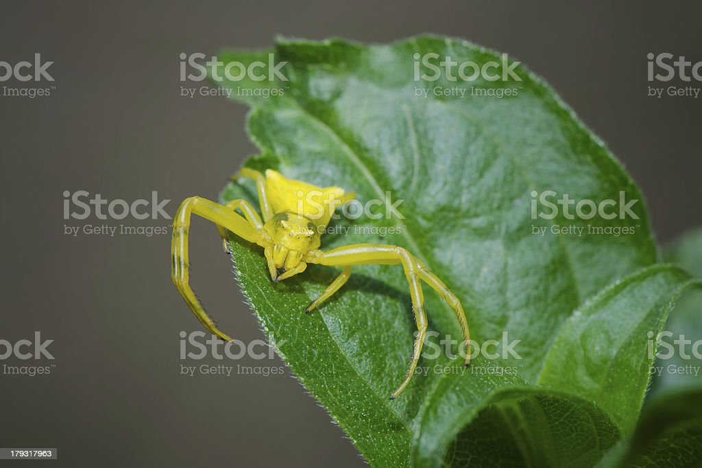 Yellow spider royalty-free stock photo