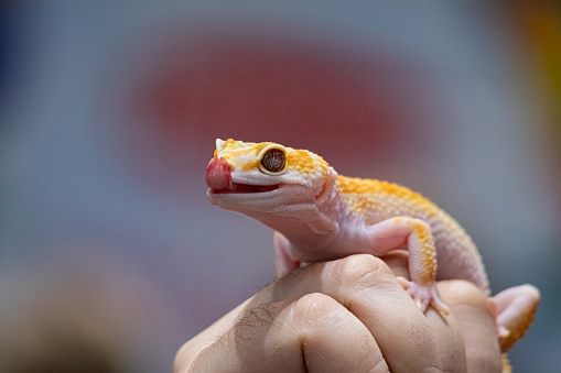 Yellow spotted eublefar in human hands. Beautiful tame lizard close up. Macro reptile.