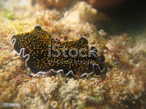 A yellow spotted white fringed flatworm on the reef.