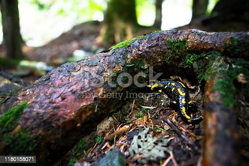 yellow spotted salamander in forest close up