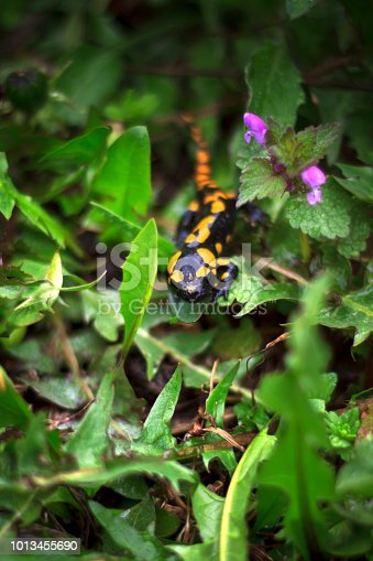 Yellow spotted salamander in the grass