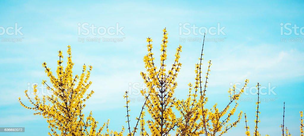 Yellow Spring Blossom stock photo