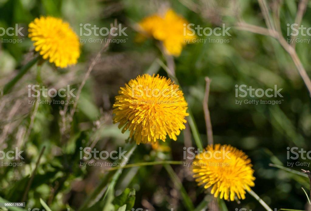 gele voorjaar paardebloemen op groene achtergrond, macro - Royalty-free Beschermd natuurgebied Stockfoto