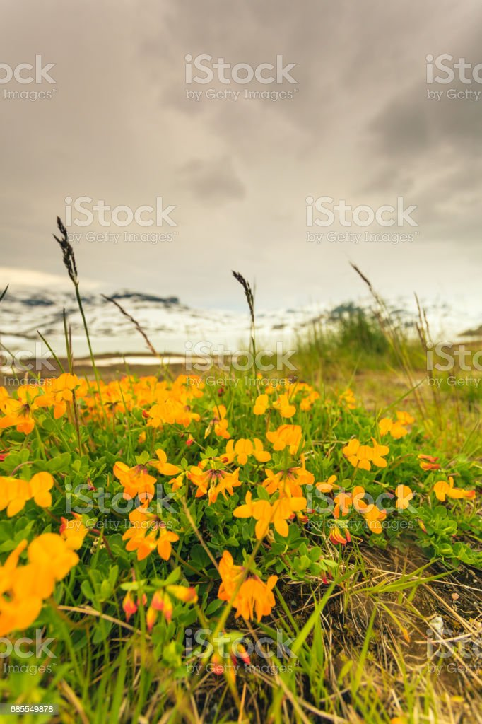 Yellow spring flowers in norwegian mountains 免版稅 stock photo