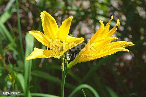 yellow spring flowers lily with insects on them