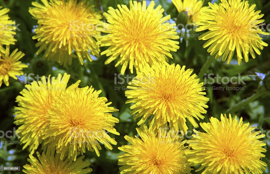 yellow spring flowers royalty-free stock photo