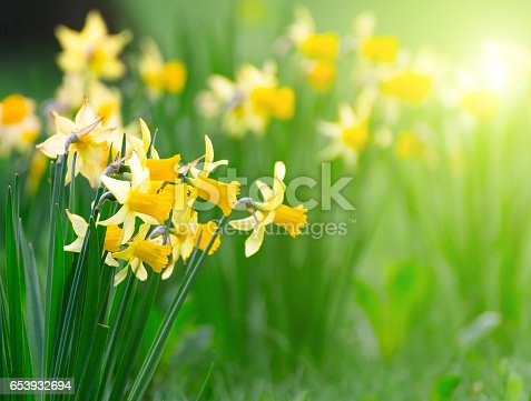 istock Yellow spring narcissus flowers and green leaves 653932694