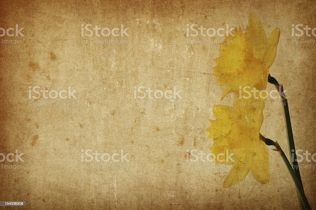 Yellow spring narcissus on grunge background royalty-free stock photo