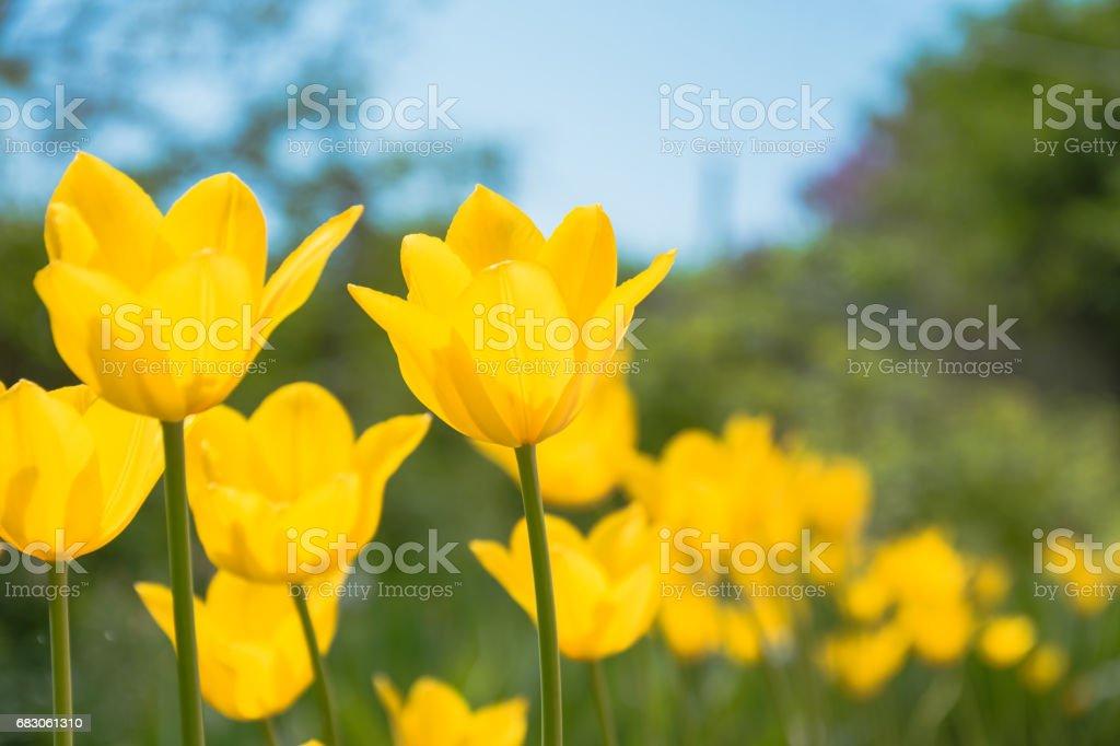 Yellow spring tulips foto de stock royalty-free