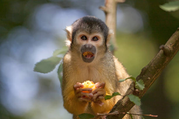 yellow squirrel monkey - mammifero foto e immagini stock