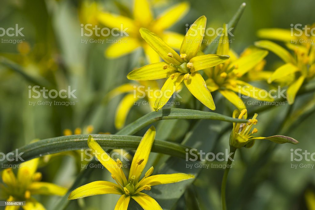 Yellow star of bethlehem stock photo