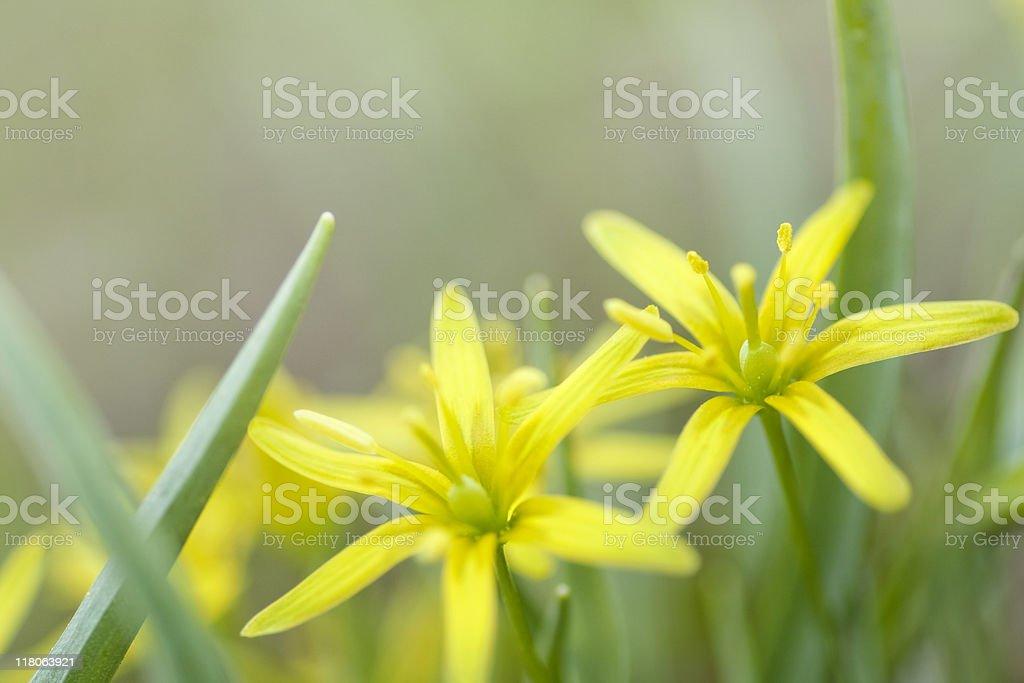 Yellow Star-of-Bethlehem royalty-free stock photo