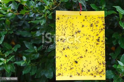 istock Yellow sticky insect trap hanging on the tree. 1176616393