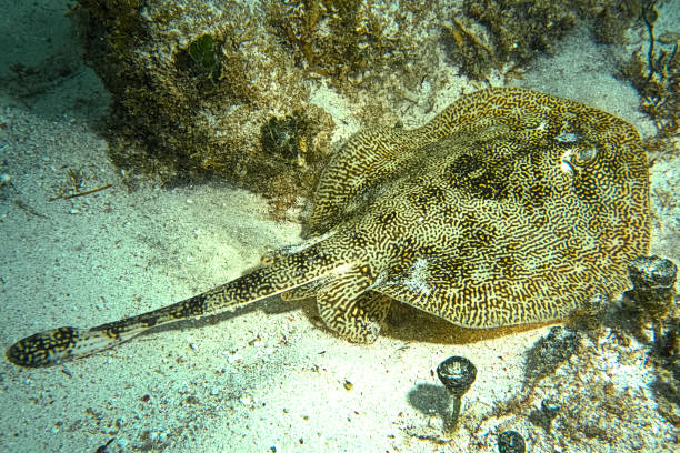Yellow Stingray - Costa Maya, Mexico stock photo