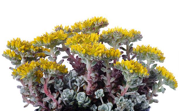 """Yellow Stonecrop """"Cape Blanco"""" (Sedum spathulifolium)"""