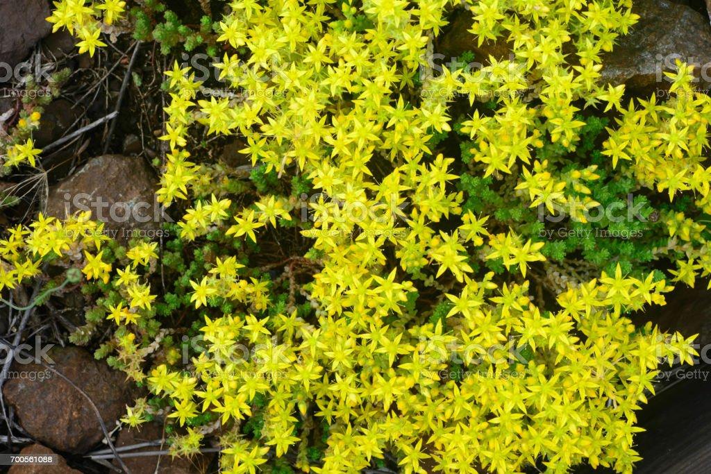 closeup de flores amarelo stonecrop - foto de acervo