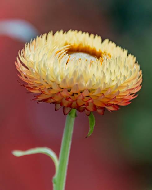Yellow Strawflower - Paper Daisies stock photo