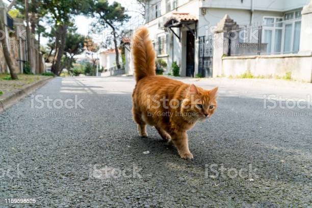 Yellow stray cat walking on the street picture id1159598525?b=1&k=6&m=1159598525&s=612x612&h=bbqxcjhvkk4e7lxu9ty s0e6dgg qlemsfh7j8 mc 8=