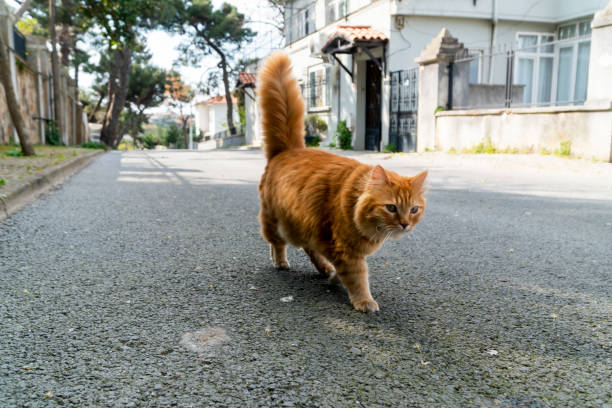 Yellow stray cat walking on the street. stock photo