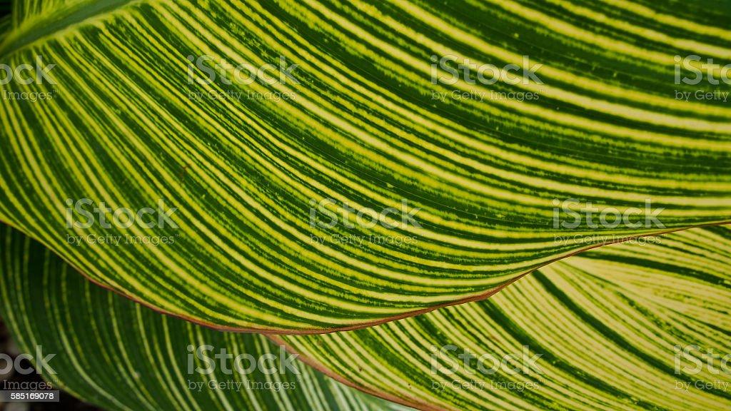 Yellow Striped Green Leaf stock photo