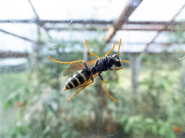 Yellow striped Paper wasp Polistes nimpha – zdjęcie