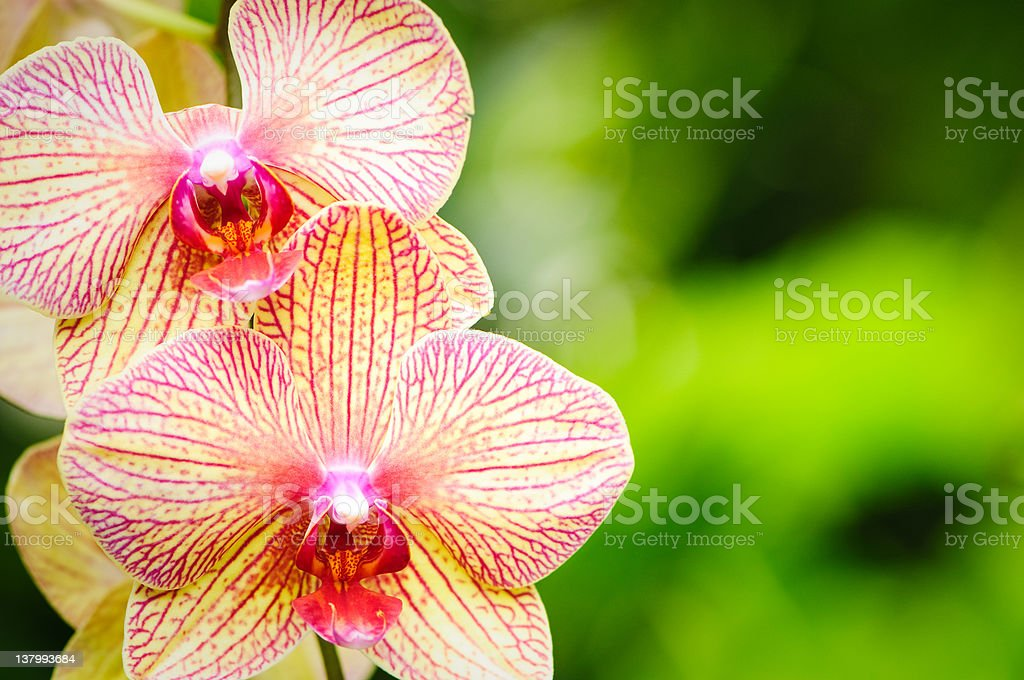 Yellow striped phalaenopsis orchid royalty-free stock photo