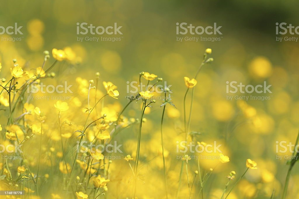 yellow summer meadow royalty-free stock photo