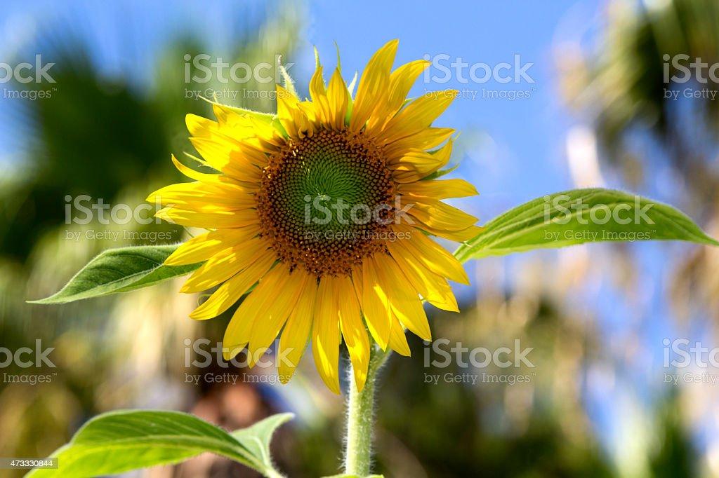 Yellow  Summer Sunflower Macro On Sky stock photo
